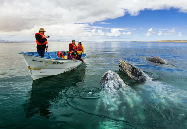Avistamientos de la ballena gris en Baja California Sur