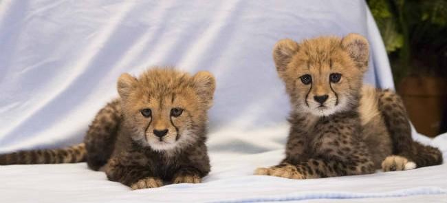 Bebés guepardos