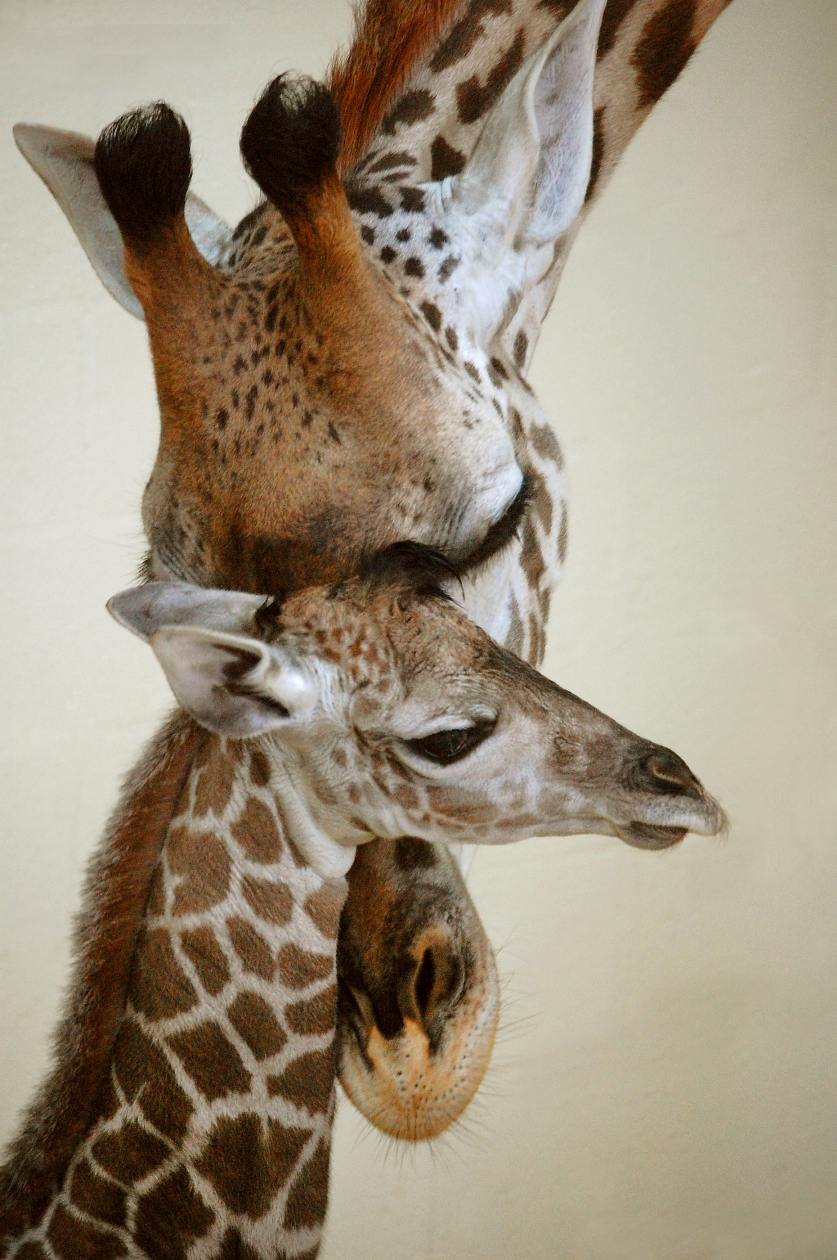 Nace Bebé Jirafa en Disney's Animal Kingdom Park