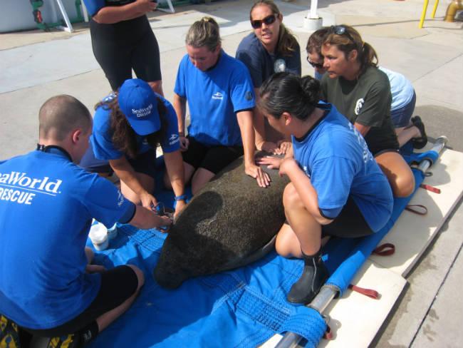 SeaWorld Orlando al rescate de Manatíes