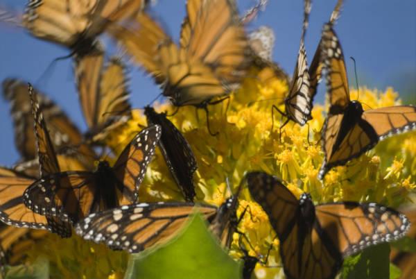 Es tiempo de la Mariposa Monarca
