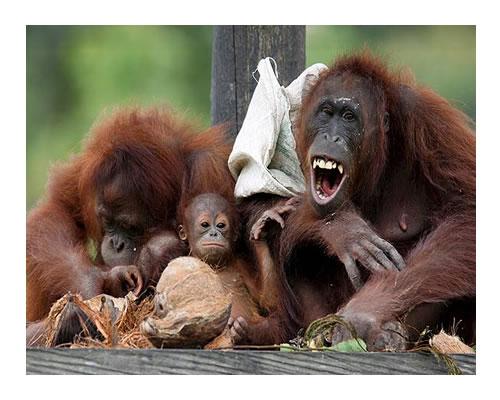 Entre Apestosos Orangutanes